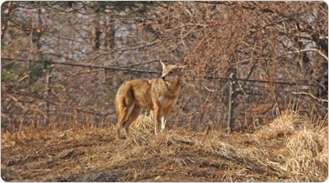 A coyote overlooking the Queens Zoo, February 3, 2003. Photo: Malcolm Pinckney.