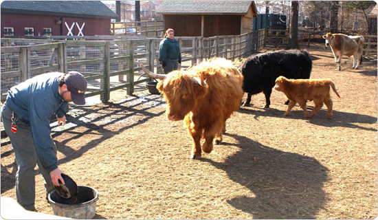 Bovines in the Queens Zoo petting zoo, February 3, 2003. Photo by Malcolm Pinckney.