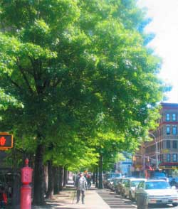 Street in East Harlem with Large Tree