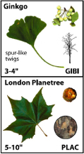 images of a ginkgo and London planetree leaf