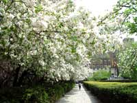 Photo of blooming white crabapple trees in the Central Park Conservatory Garden
