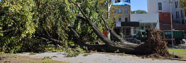 Large tree ripped from the ground after storm in Maria Hernandez Park