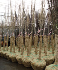 Trees in burlap waiting to be planted