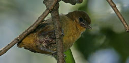 Baltimore Oriole chick