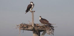 Ospreys in a nest