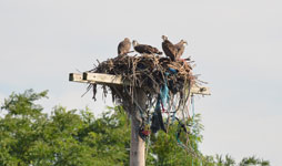 ospreys at Freshkills Park