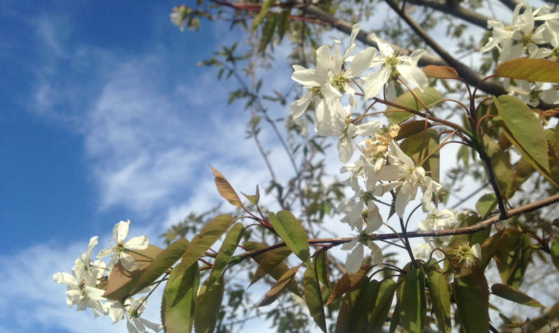 This Tree Or Large Shrub Blooms White Sweet Smelling Flowers The Petals Are Narrow And Leaves Heart Shaped To Elliptical