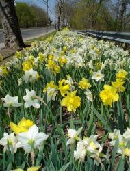White and yellow daffodils