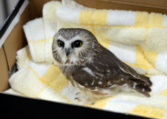 A Visitor: Saw-Whet Owl Brought to Central Park