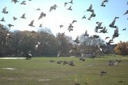 Pigeons in Prospect Park