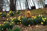 Hugo Pingoud Chung examines the daffodils along East Drive