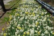 A long stretch of daffodils
