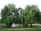 Willow at Bowne Lake
