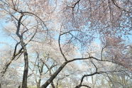 Cherry Trees in Central Park