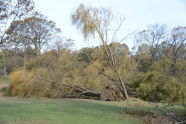 Downed Trees at Orchard Beach