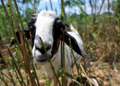 Goats at Freshkills Park