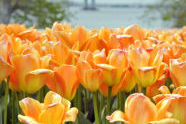Tulips at Fort Totten Park