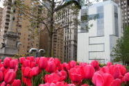 Tulips at Columbus Circle