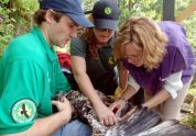 The team tags an eaglet