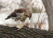 A red-tailed hawk eats a rodent