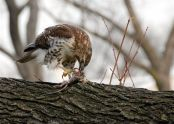 Red-tailed hawk and prey
