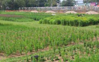 Founder Seed Plots under Cultivation at the GNPC